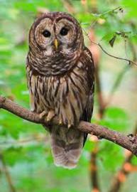 Owl large