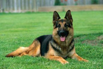 Shepherd large