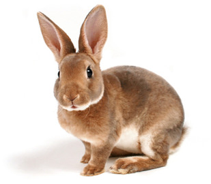 Rabbit large